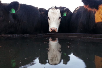 Focus Today for Cattle Profitability Tomorrow